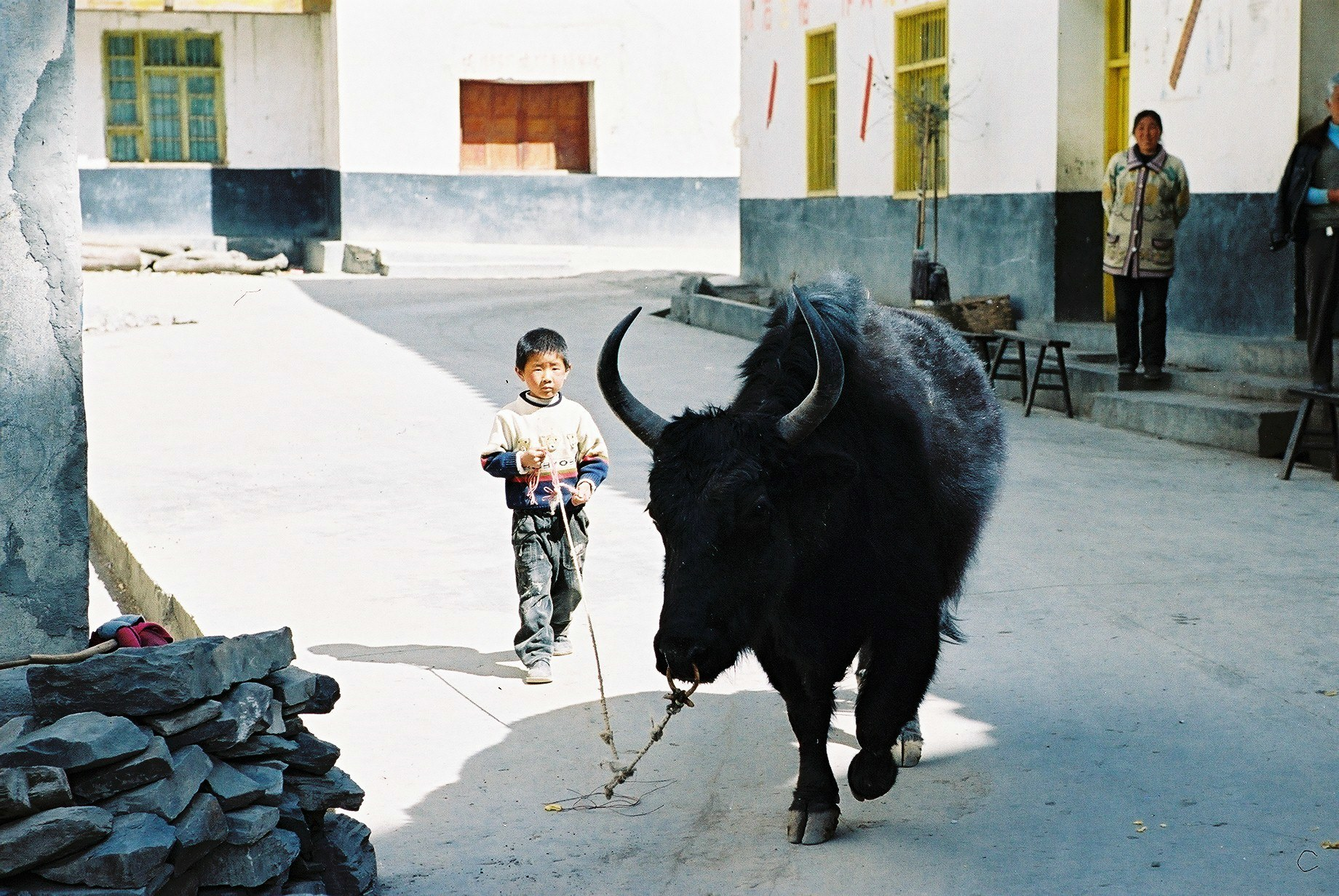Bull Leads A Child