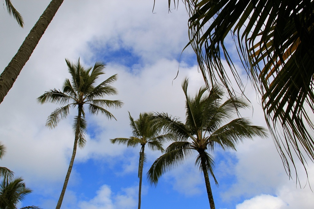 """Coconut Trees"" by David Fulmar"